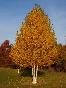 Paper birch in fall