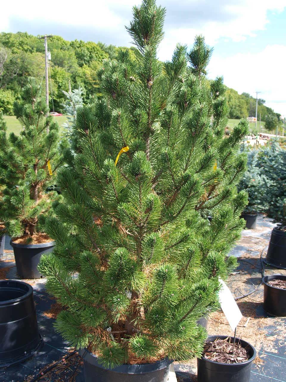 Tannebaum mugo pine knecht 39 s nurseries landscaping for Small sized evergreen trees