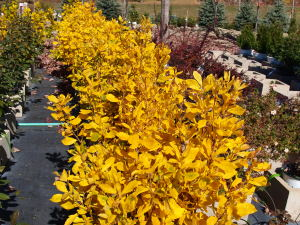 Golden Fall Color on the Clethra