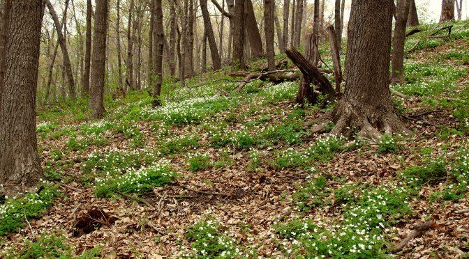 Woodland Wldflowers