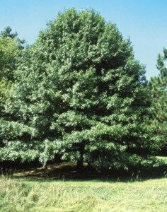 Northern Pin Oak - Photo courtesy Bailey Nurseries
