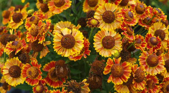 Helenium  AKA:  Sneezeweed or Helen's Flower