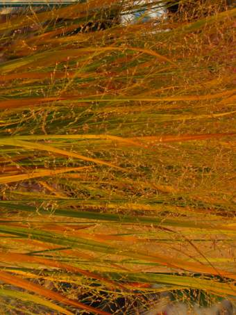 Northwind Switch Grass Fall Color