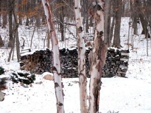 Birch tree with firewood