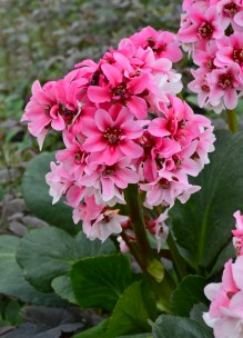 Heartleaf Bergenia 'Sakura'