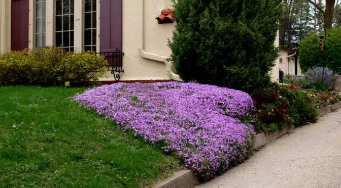 What's doing the blooming? Creeping Phlox