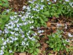 Myosotis sylvatica Woodland Forget-me-not