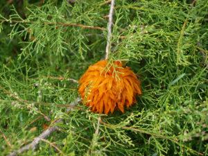 Fruiting bodies for Cedar Apple Rust