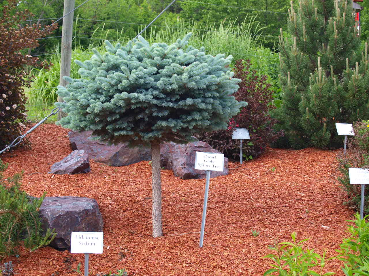 Dwarf globe blue spruce trees knecht 39 s nurseries for Small dwarf trees for landscaping