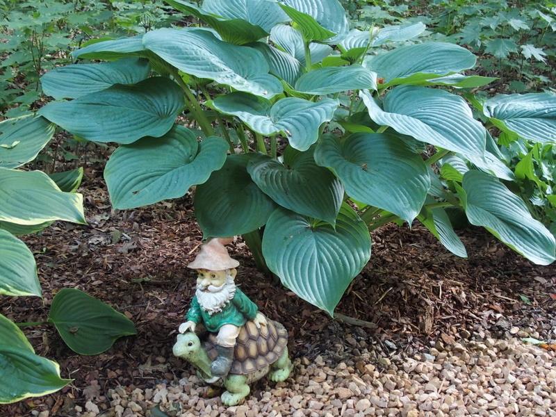 My Woodland Garden The Large Hosta Knecht S Nurseries