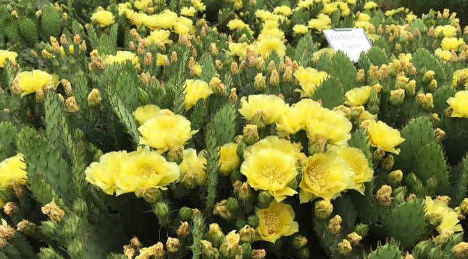 What's Doing the Blooming? Plains Prickly Pear