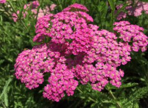 Yarrow milleflium 'Pretty Belinda'