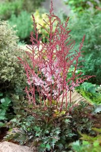 Astilbe 'Delft Lace' Photo Courtesy of Bailey Nurseries