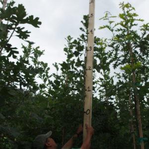 New growth on Ancestry Oak
