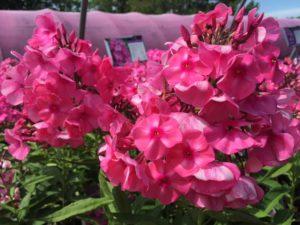 Tall Garden Phlox Bubblegum Pink