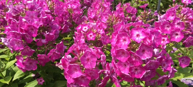 What's Doing the Blooming? Garden Phlox