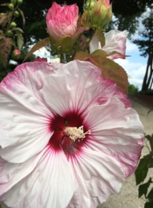Hibiscus 'Cherry Cheesecake'