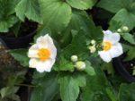 Anemone x hybrida 'Honorine Jobert', The Perennial Plant of the Year 2016