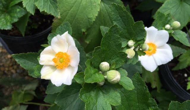 What's Doing the Blooming? Anemone 'Honorine Jobert'