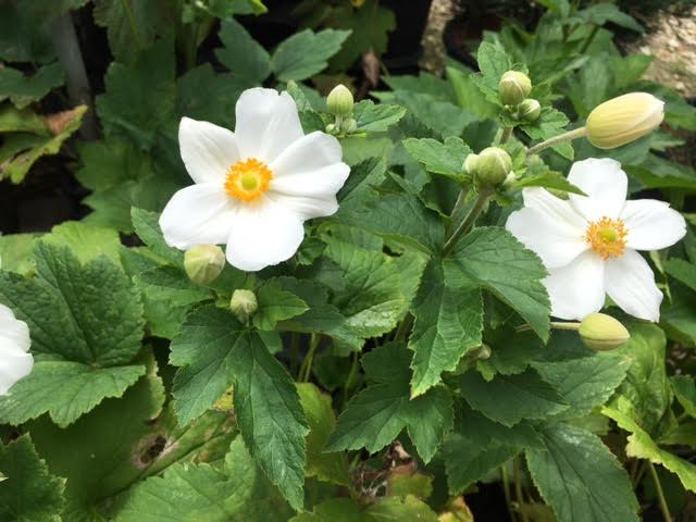 Japanese Anemone Archives - Knecht's Nurseries & Landscaping