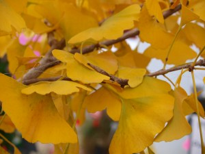 Autumn Gold Ginkgo in fall