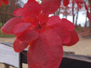 Fall Color on the Grace Smokebush Tree