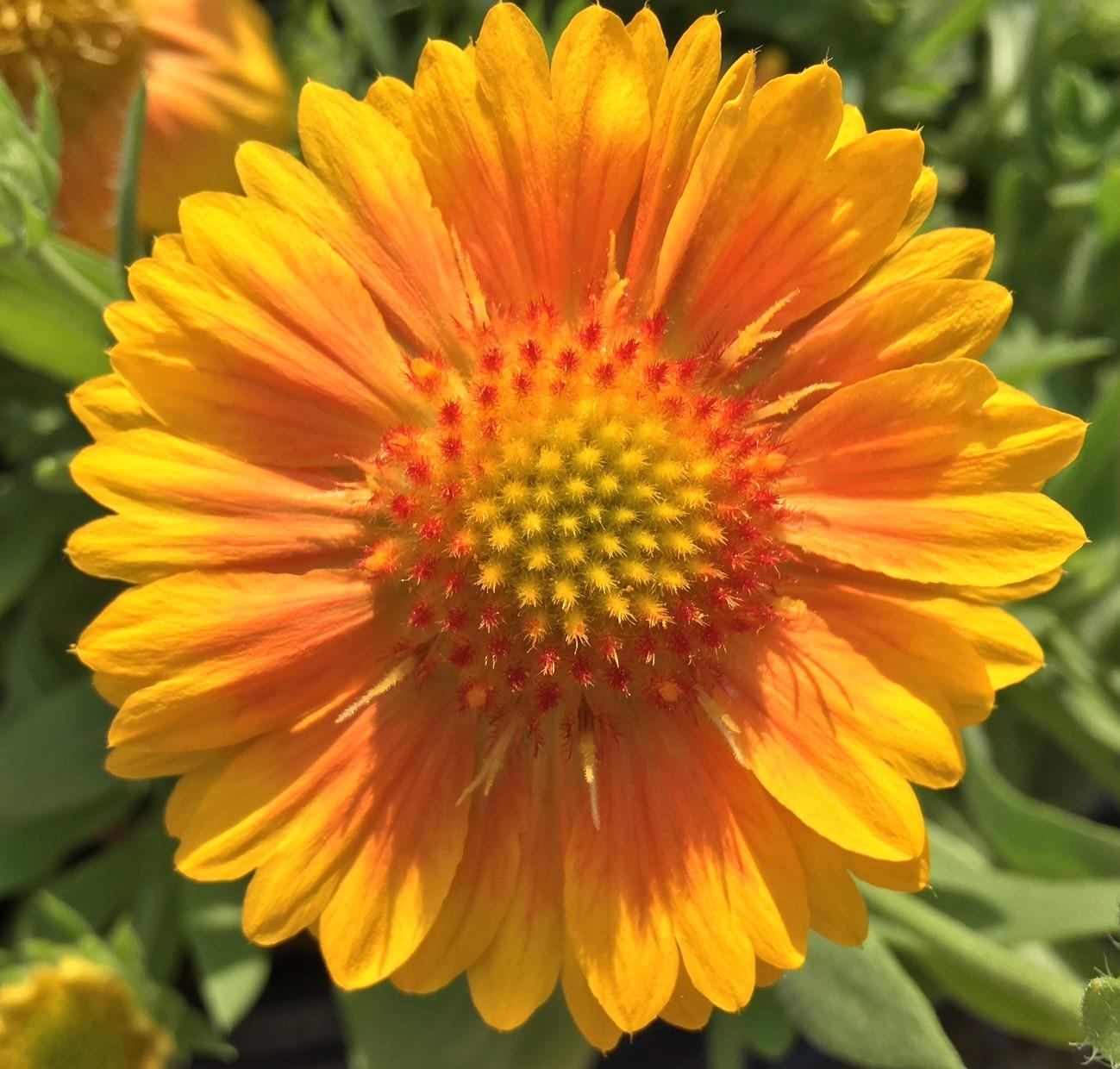 Gaillardia Blanket Flower Knecht S Nurseries Amp Landscaping