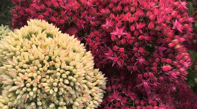 Sedum at Sunset