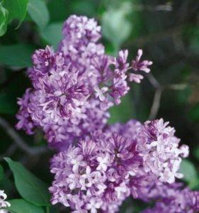 Prairie Petite Lilacs