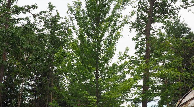 Planting Large Trees