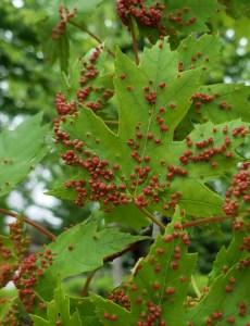 'Tis the Season… for Leaf Gall