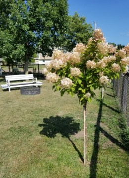 Phantom Hydrangea Tree