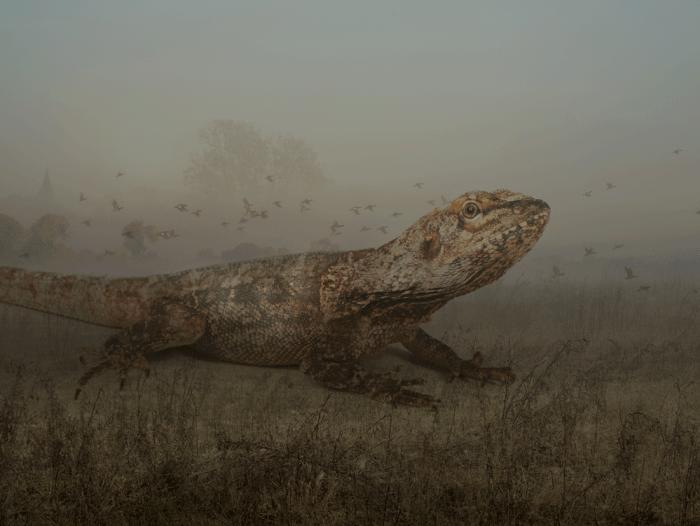 Colin_frilled-lizard-copy