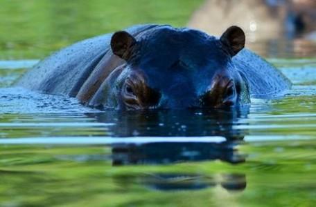 De groep nijlpaarden bestaat inmiddels uit zo'n 35 dieren: het is daarmee de grootste kudde buiten Afrika