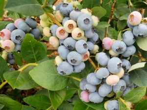 blueberries2 (2)