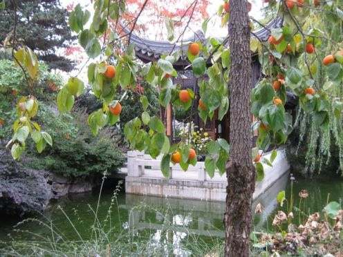 LS persimmons tree