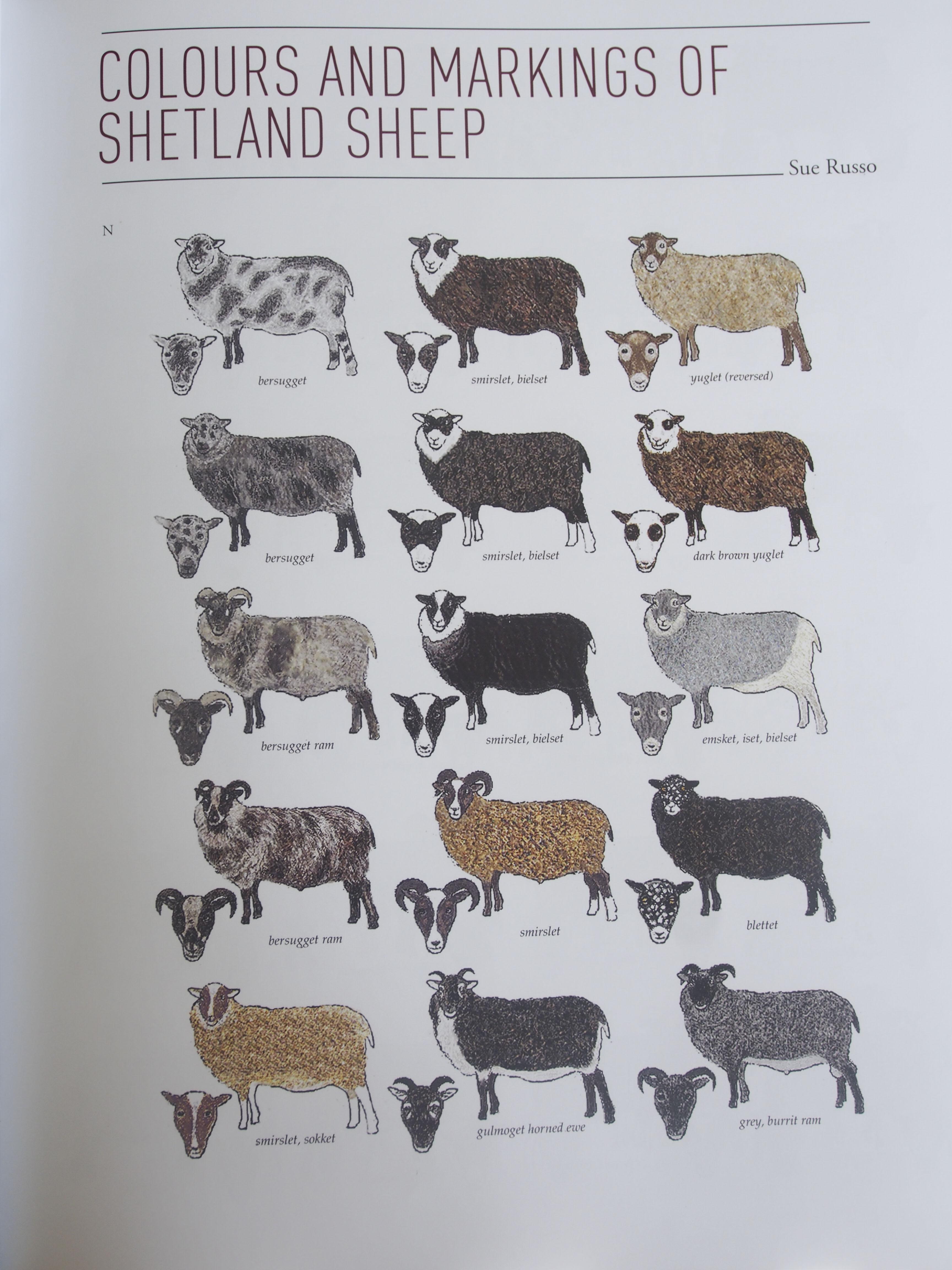 Sheep markings Shetland sheep, Shetland, Sheep