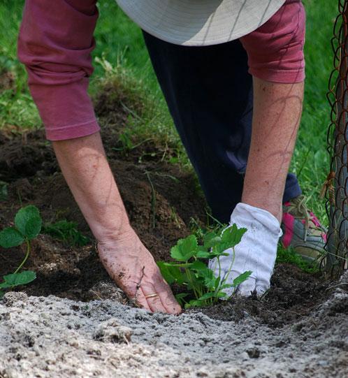 Planting My Strawberry Patch