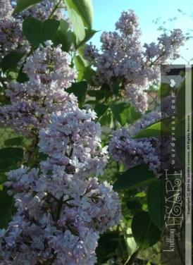 lilac bush-2