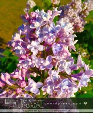 lilac bush-3