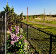 lilac bush-4