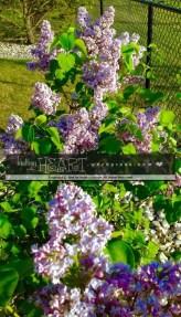 lilac bush-8