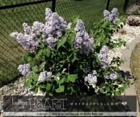 lilac bush-1