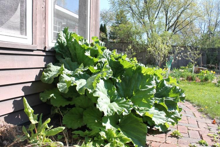farm rhubarb