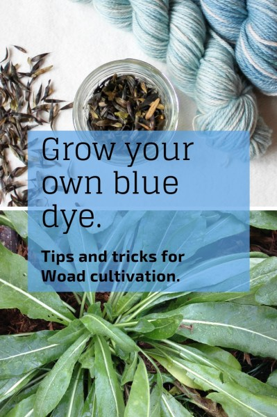 Want to grow your own dye garden? Try this classic plant, used since ancient times to create a beautiful blue natural dye. Woad tips and tricks for cultivation as well as seed sources.
