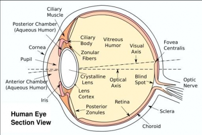All About the Human Cornea: Structure and Function