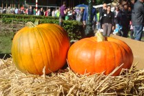 Pompoenen - Pumpkins