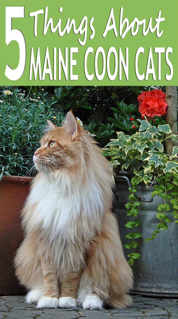 5 Things About Maine Coon Cats