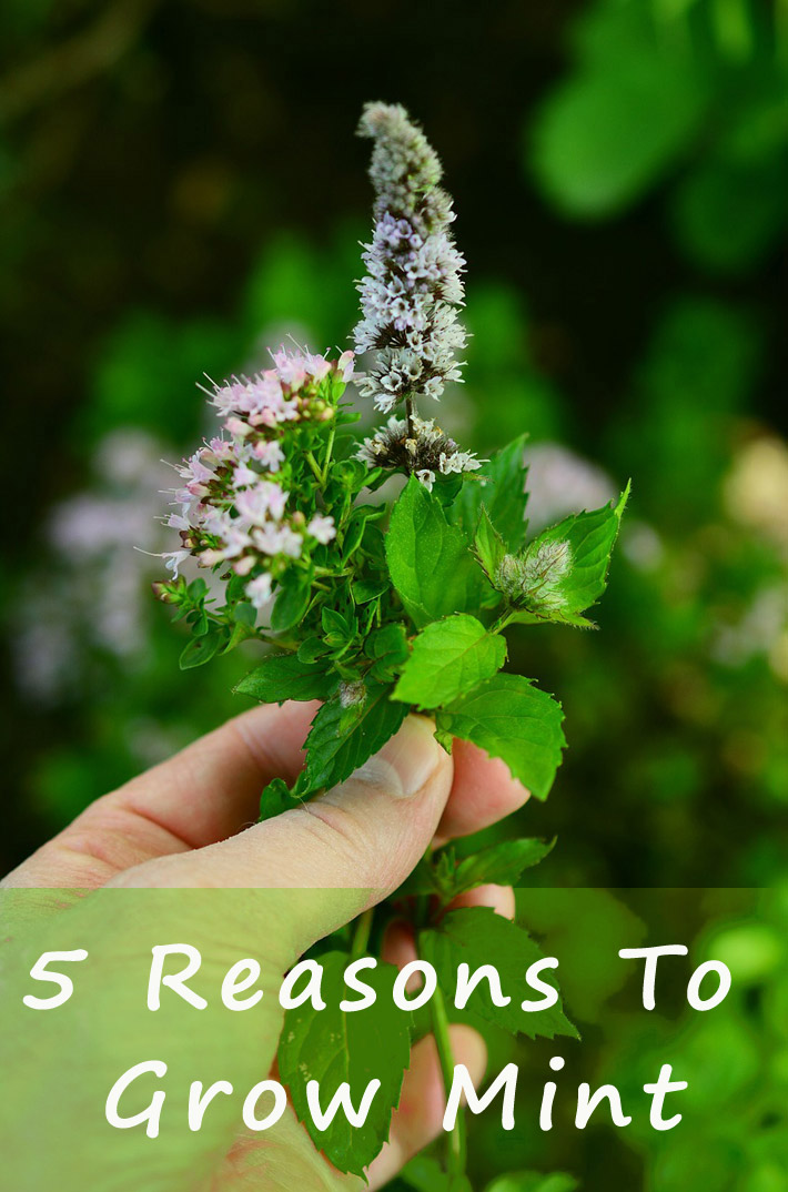 5 Reasons To Grow Mint