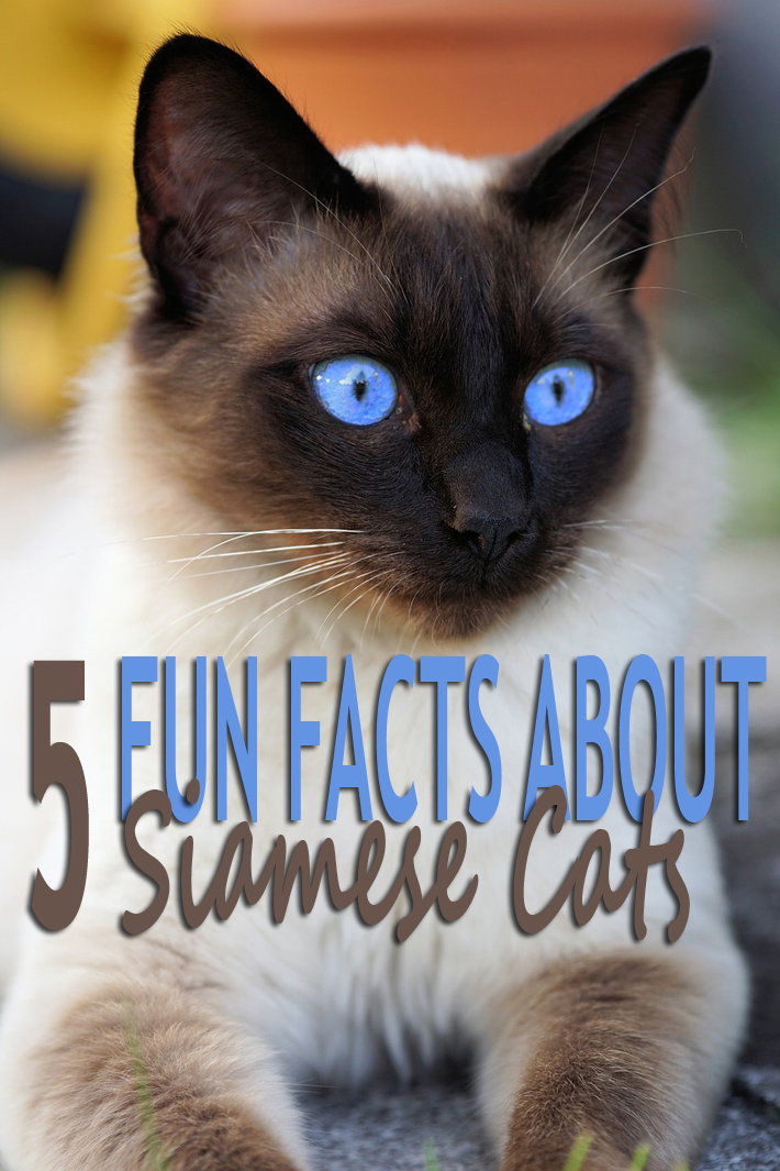 5 Fun Facts About Siamese Cats